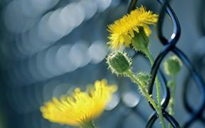 Картинка цветок, макро, забор