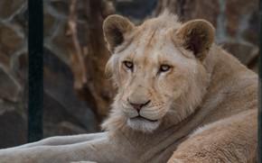 Картинка кошка, белый, взгляд, морда, фон, портрет, лев, лежит, белая, львица, зоопарк, дикая
