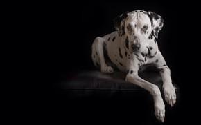 Обои лапы, чёрный фон, собака, Далматин, взгляд, портрет