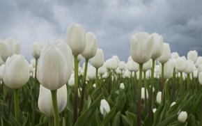Картинка Тюльпаны, белые, бутоны