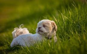 Картинка трава, друг, собака, Ши-тцу
