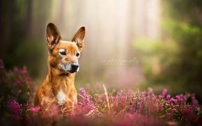 Обои взгляд, природа, собака