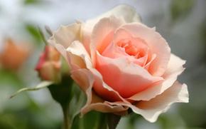 Обои роза, бутон, лепестки, макро, боке