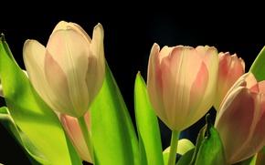 Картинка листья, тюльпан, весна, лепестки