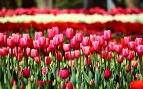 Картинка зелень, поле, листья, цветы, яркие, весна, сад, тюльпаны, красные, розовые, бутоны, клумба, алые, много
