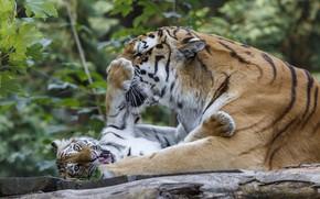 Картинка тигрёнок, игра, отдых, тигр, малыш