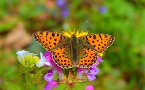 Картинка Макро, Бабочка, Боке, Bokeh, Macro, Butterfly