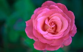 Картинка макро, фон, роза, лепестки, бутон