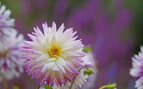 Картинка цветок, природа, цветение, георгин