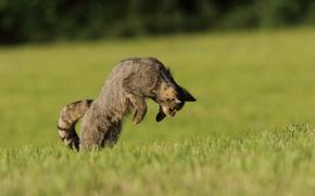 Картинка поле, кошка, охота