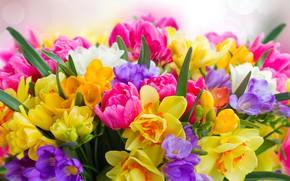 Картинка тюльпаны, нарциссы, фрезия