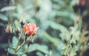 Картинка цветы, природа, розы, rose, vintage, nature, винтаж, flowers, macro, beauty, roses, винтажные обои
