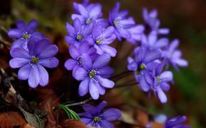 Обои весна, Печёночница благородная, Перелеска, макро