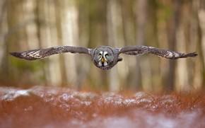 Картинка лес, сова, птица, крылья, полёт, боке