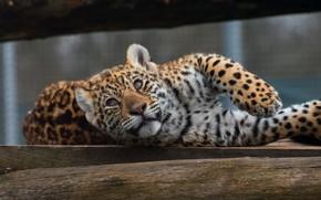 Картинка кошка, глаза, взгляд, природа, поза, котенок, фон, лапы, мордочка, леопард, лежит, бревно, котёнок, детеныш, зоопарк, ...