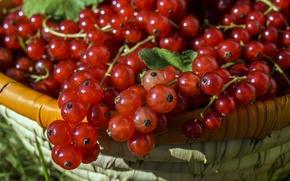 Картинка зелень, лето, ягоды, корзина, красная, смородина