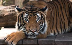 Обои лапы, тигр, доски, морда, лежит, взгляд, кошка, дикая, портрет