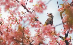 Картинка птица, сакура, цветение
