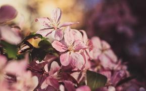 Картинка солнце, закат, дерево, весна, май, яблоня, розовая яблоня, цветение яблони, красная яблоня