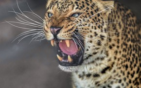 Обои дикая кошка, морда, оскал, клыки, хищник, портрет, леопард