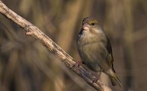 Картинка взгляд, ветвь, солнечный свет, Обыкновенная зеленушка (Carduelis chloris)