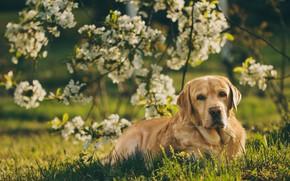 Картинка взгляд, ветки, собака, весна, сад, цветение, Лабрадор-ретривер