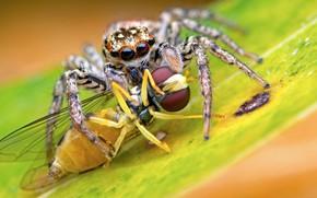 Картинка макро, фон, паук, хищник, добыча, джампер, прыгунчик