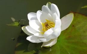 Картинка Лист, Цветок, Водоем, Цветение, Водяная лилия