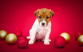 Картинка фон, шары, собака, шерсть, щенок, окрас, порода
