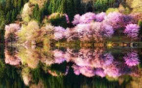 Картинка лес, вода, отражения, деревья, природа, парк, цвет, Весна, Япония, сакура, посадка