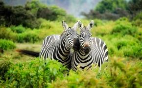 Картинка зелень, растительность, две, пара, африка, кусты, дикая природа, кения, зебры, парнокопытные