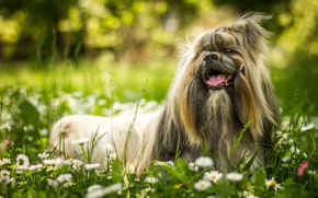 Картинка зелень, язык, лето, трава, цветы, природа, улыбка, парк, фон, поляна, портрет, ромашки, собака, шерсть, сад, ...