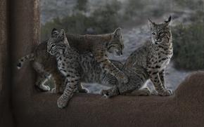 Обои котята, рыси, детёныши, троица