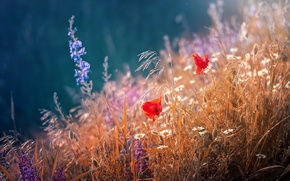 Обои трава, лето, маки