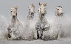 Обои брызги, кони, вода