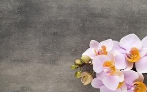 Картинка цветы, орхидея, pink, orchid