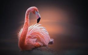 Картинка птица, камень, фламинго, птицы мира
