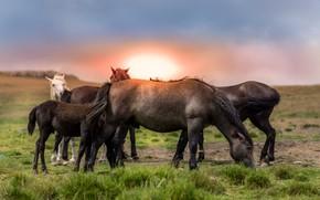 Картинка поле, закат, кони, лошади, стадо, табун