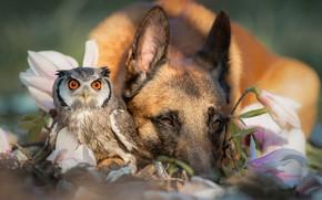 Обои весна, дружба, птица, немецкая овчарка, парочка, сова, природа, цветы, животные, собака