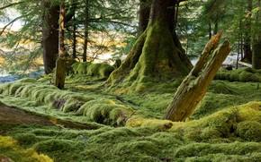 Картинка лес, деревья, мох, Канада, Хайда-Гуай