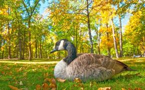 Обои трава, птица, осень, парк, гусь