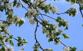 Картинка небо, цветы, ветки, яблоня, весна 2018, Mamala ©