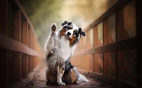 Обои собака, Австралийская овчарка, Аусси, лапа, мостик