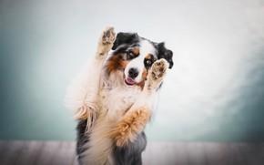 Картинка собака, лапы, боке, Австралийская овчарка, Аусси