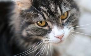 Обои кошка, котейка, мордочка, взгляд, кот