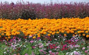 Картинка лето, природа, Цветы, цветение, Бархатцы