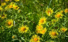 Картинка зелень, цветок, лето, трава, цветы, желтый, природа, зеленый, тепло, фон, растение, красиво, девясил