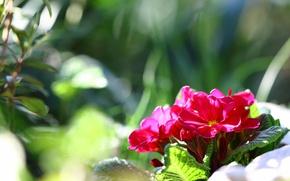 Картинка макро, весна, примула