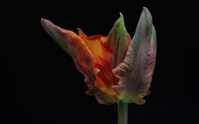 Картинка макро, фон, тюльпан, лепестки
