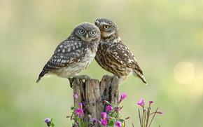 Картинка цветы, птицы, совы, парочка, боке, деревяшка